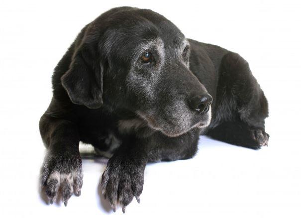 Labrador Durchschnittsalter