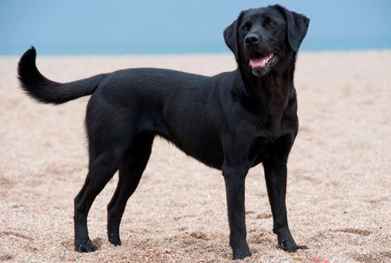 Wann ist ein Labrador ausgewachsen?