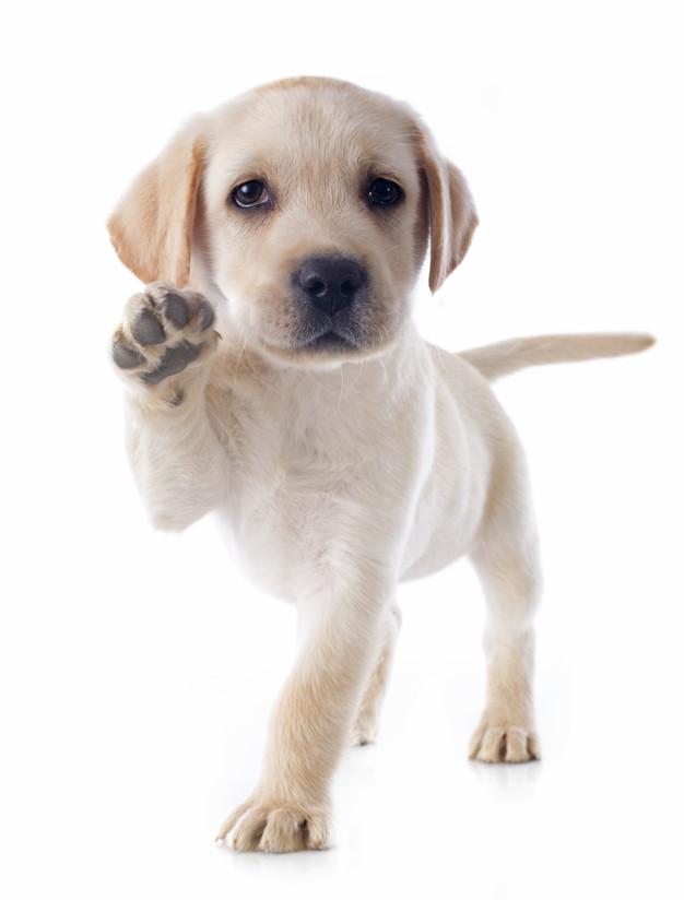 Labrador Welpe weiß