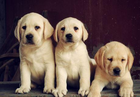 weiße Mini Labrador Babies