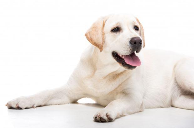Labrador weiß