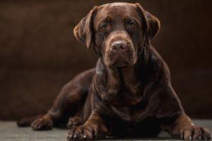 Charcoal-Labrador: Der anthrazitfarbene Labrador-Retriever