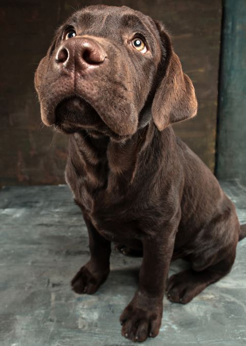 süßer charcoal Labrador Welpe